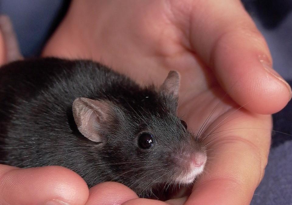 Investigadores de Estados Unidos diseñan el primer modelo animal sin el gen 'SHANK3'